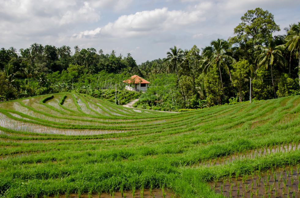 Paddy-Field-license-free-CC0-980x649